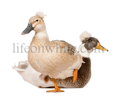 Male and Female Crested Duck, 3 years old, standing in front of white background