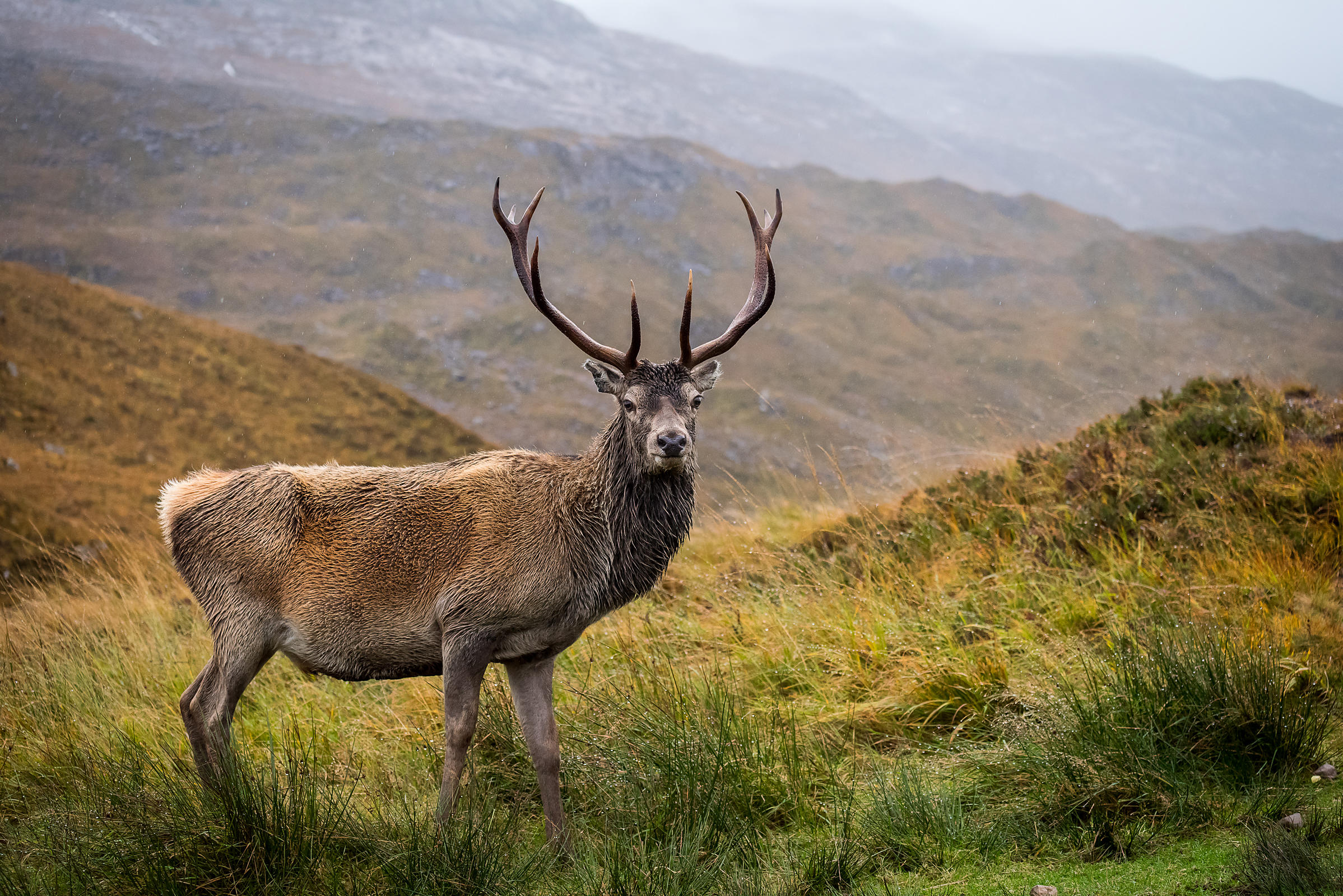 Red Deer - Torridon Hills