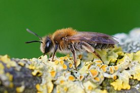 Lateral closeup of a female Mellow Miner , Andrena mitis on lichen covered wood