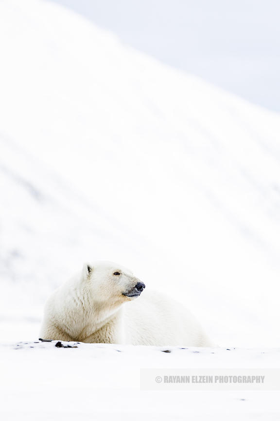 Female polar bear lying in the snow and looking up, Svalbard, Norway