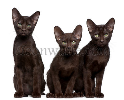 Havana Brown kittens, 15 weeks old, sitting in front of white background
