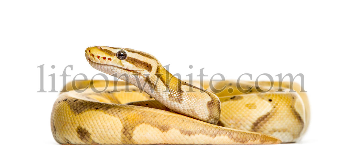 Firefly python, isolated on white