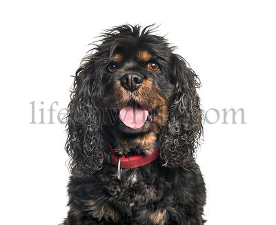 Cavalier King Charles Spaniel in front of white background