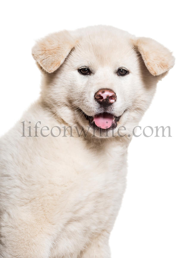 Akita Inu puppy, 2 months old, against white background