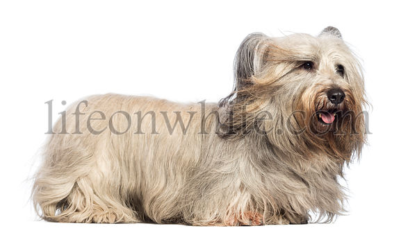 Skye Terrier with wind in the face against white background