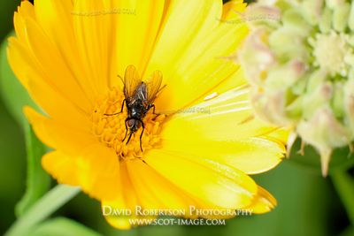 Image - Fly feeding on a Marigold flower