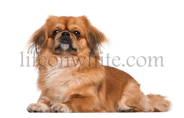 Pekingese, 18 months old, lying against white background
