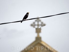 Blackbird Turdus merula in song on telegraph line with Cley church in background, Cley, Norfolk, spring