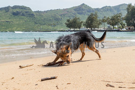 Small Terrier Mix Chewing on Stick on Sandy Beach Next to Water