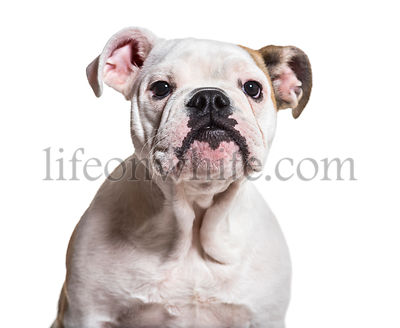 English Bulldog, 5 months old, close up against white background