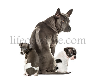 Boston terrier, Rhodesian ridgeback, Italian Greyhound puppy, in front of white background