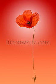 Poppy on a red gradient  background