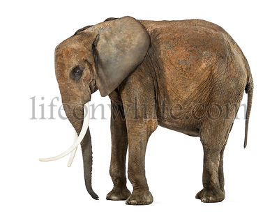 Standing African Elephant, isolated on white