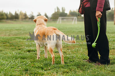A yellow lab looking off into a field as his owner holds a chuck it ball launcher