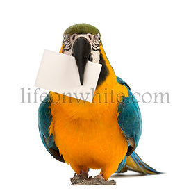 Blue-and-yellow Macaw, Ara ararauna, 30 years old, holding a white card in its beak in front of white background