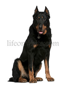 Beauceron dog, 10 years old, sitting
