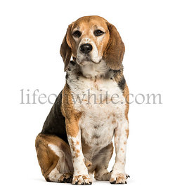 Beagle sitting against white background