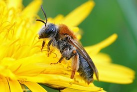 Closeup of a female orange-tailed mining bee, Andrena haemorrhoa on a yellow flower of dandelion, Taraxacum officinale
