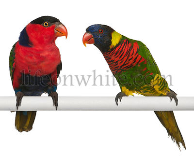 Ornate Lorikeet, Trichoglossus ornatus, and Black-capped Lory, Lorius lory, perching in front of white background