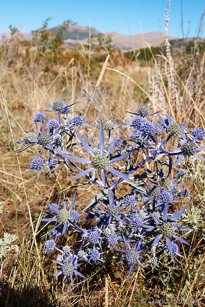 070911-21_Majella_116 Eryngiums. Blue thistles, a form of sea holly native to the Abruzo in Italy.