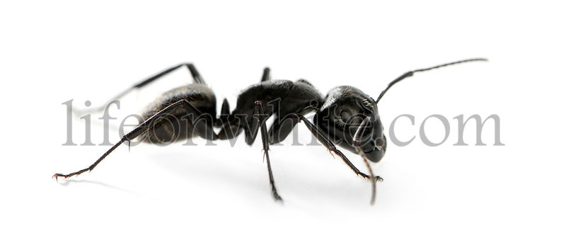 Carpenter ant, Camponotus vagus