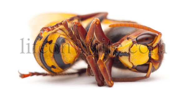 Dead European hornet, Vespa crabro, in front of white background