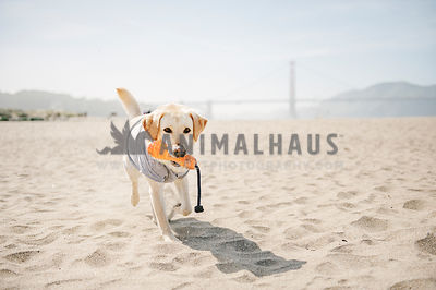 A lab in a shirt fetching a toy on the beach with a bridge in background