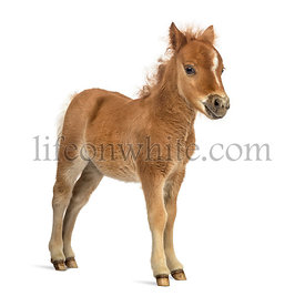 Side view of a poney, foal against white background