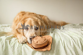 Golden retriever with hat toy on bed looking to right