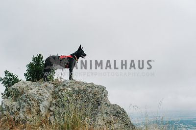 A dog in a harness standing on an outcrop enjoying the view