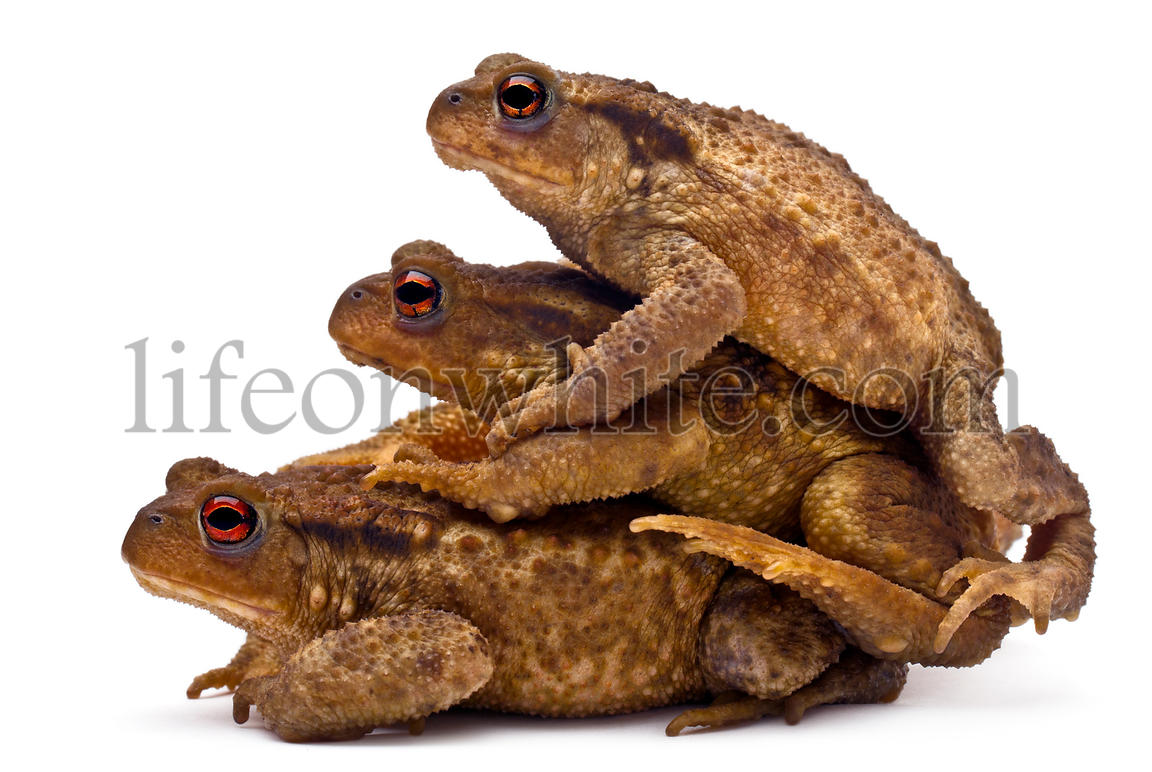 Three common toads or European toads, Bufo bufo, stacked in front of white background