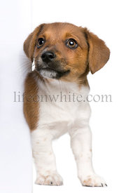 jack russel terrier puppy peeking around white board against white background (3 months old)