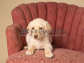 Small labradoodle puppy lying on antique chair in studio