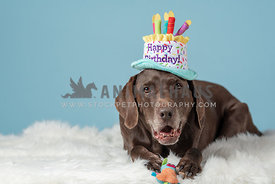 close up of chocolate lab wearing Happy Birthday hat