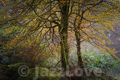 Tree with orange leaves in autumn woodland