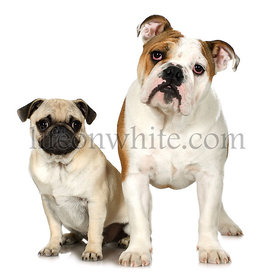 English Bulldog and a Pug
