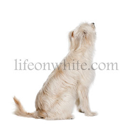 Back view of a Pyrenean Shepherd, 2 years old, sitting and looking up