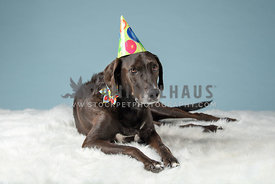 large dark lab mix laying down in studio wearing birthday hat and collar