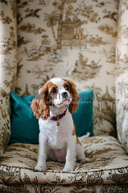 A spaniel puppy sitting on a large armchair