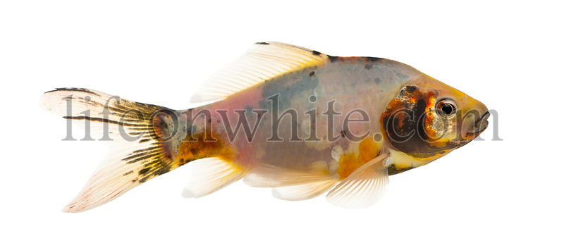 Side view of a Shubunkin, Carassius auratus, isolated on white