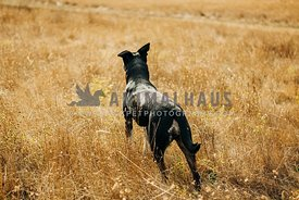 A large black dog looks off into the distance while standing in tall dry grasses
