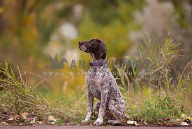 A pointer sitting in tall grasses with an autumn background