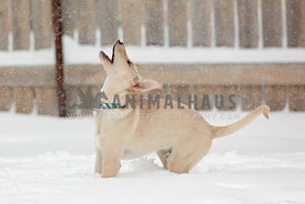 A young dog playing in the snow
