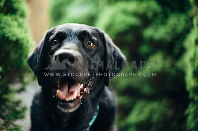 A headshot of a happy black lab
