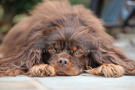 close up of brown cavalier king charles laying down