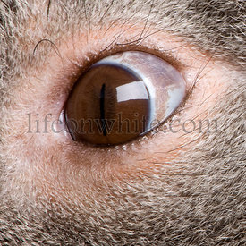 Close-up of male Koala bear eye, Phascolarctos cinereus, 3 years old