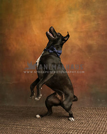 Dog daning on hind legs inside on rug with colorful background
