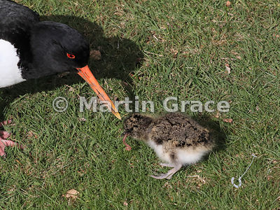 Eurasian Oystercatcher (Haematopus ostralegus) watching closely as its 3-4 day-old chick eats the earthworm it has just given...