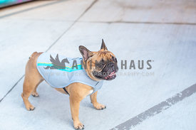 french bulldog wearing cooling vest