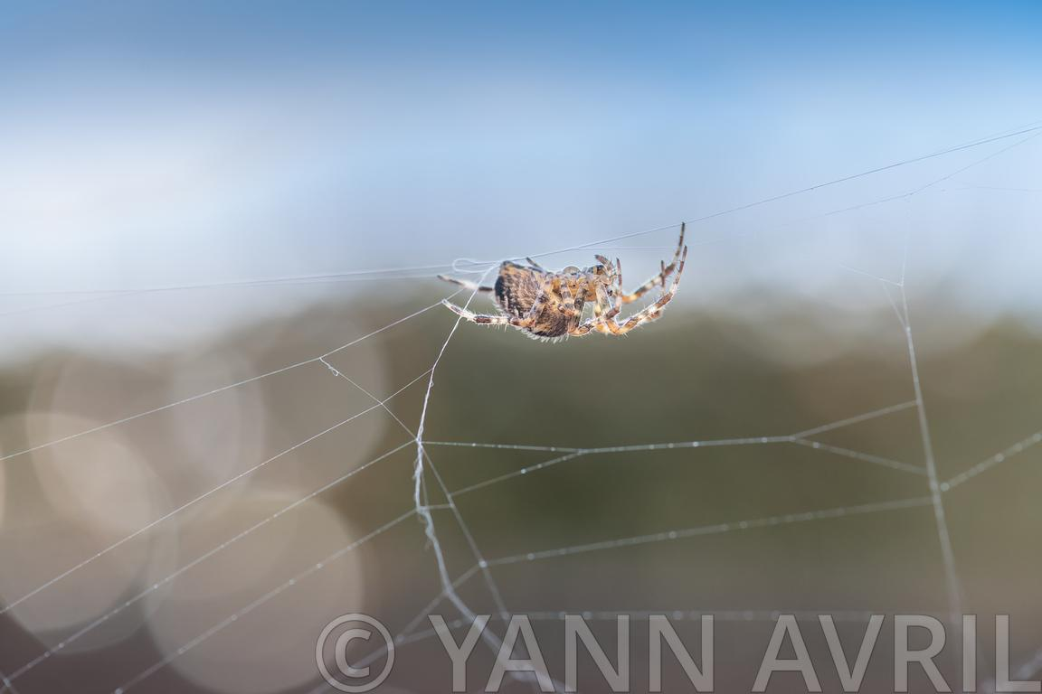 Araneus diadematus-'Cross orbweaver' on its web in a garden